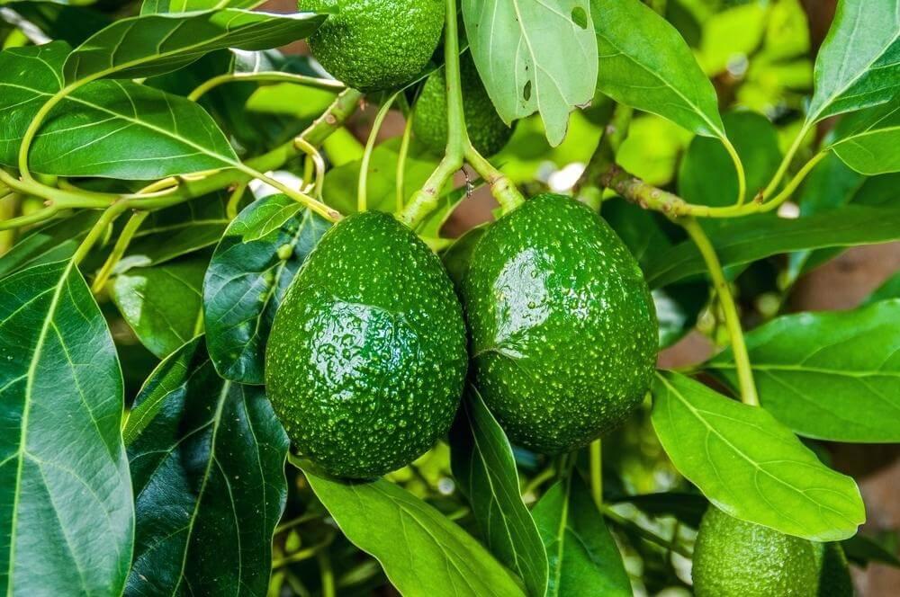 на чем растут авокадо в картинках кащенко